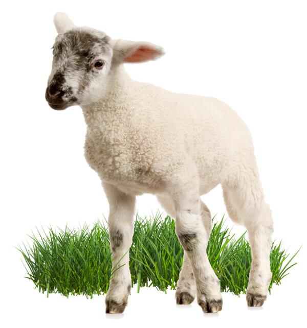 young British lamb stood in a field of green grass