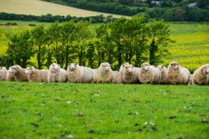 EQL uk sheep qurbani musinna online