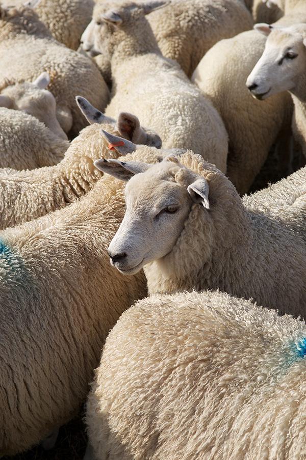 EQL uk lamb jaz'ah qurbani online